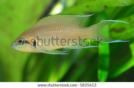 the exotic fish in aquarium, natural lighting #5835613