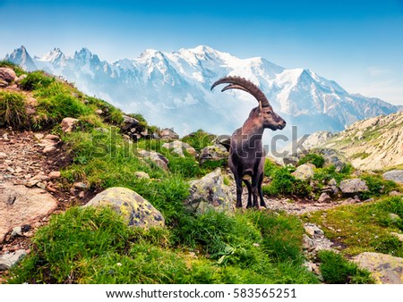 Alpine Ibex (Capra Ibex) on the Mont Blanc (Monte Bianco) background. Misty summer morning in the Vallon de Berard Nature Reserve, Graian Alps, France, Europe.  #583565251