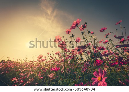 Field pink cosmos flower and sunlight with vintage toned. #583648984