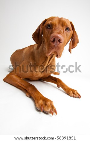 Curious Red Dog on White Background