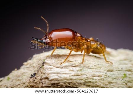 Super macro danger termite on wood