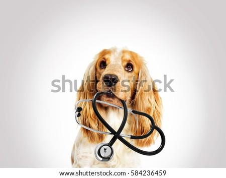 portrait vet dog spaniel on a gray background #584236459