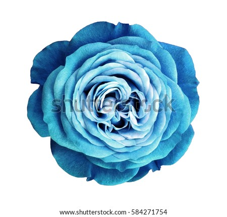 turquoise rose flower. white isolated background with clipping path. Nature. Closeup no shadows. Nature.  #584271754