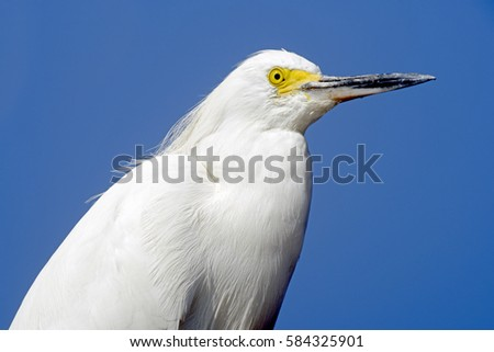 close up of Snowy egret, Egretta thula, heron species which occurs in the Americas, from Canada to Argentina, with blue sky in background #584325901