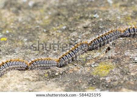 A swarm, or procession of Caterpillar Pine Processionary, Thaumetopoea pityocampa, in high definition. Those groups are a danger for dogs that can get poisoned. #584425195