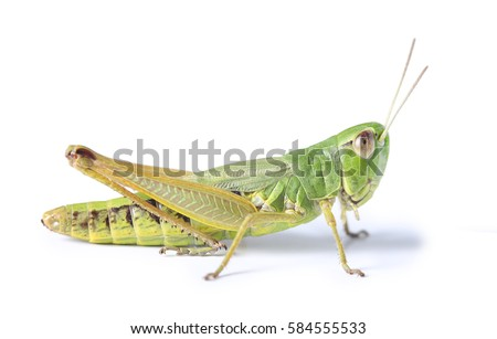 grasshopper isolated #584555533
