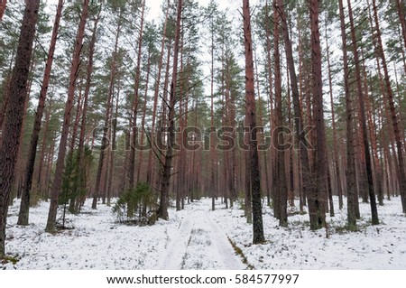 Road in the forest. Pines. #584577997
