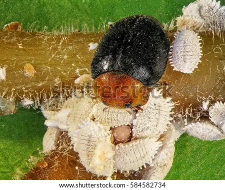 Scale insect (Citrus mealybug) and its natural enemies, ladybugs. Biological control concept #584582734