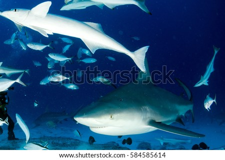 bull shark in the blue ocean background in mexico ready to attack
