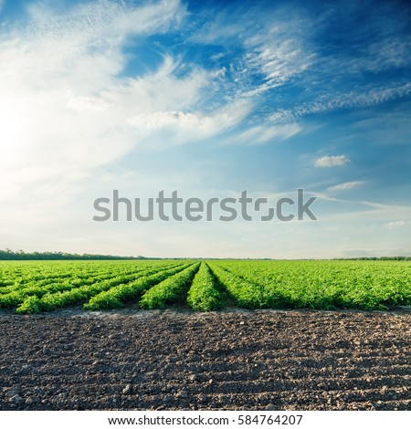 agricultural fields with tomatoes and sunset in blue sky #584764207
