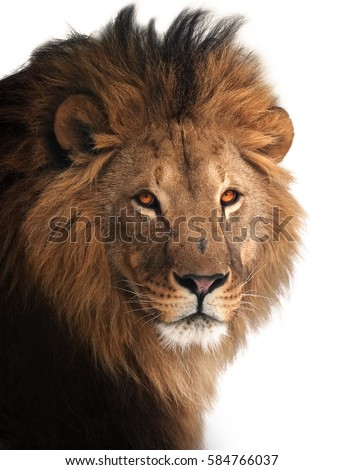 Lion great king portrait isolated on white