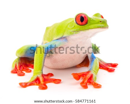 Red eyed monkey tree frog, Agalychnis callydrias. A tropical rain forest animal with vibrant eye isolated on a white background. #584771161