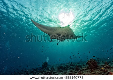 Manta in the blue background while diving maldives #585140773
