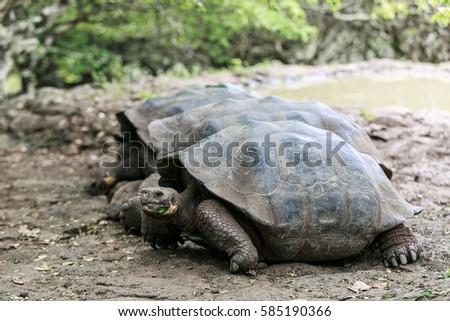 Floreana Island, Galapagos, ECUADOR - February 13, 2014; Galapagos tortoise at the tortoise reserve on Floreana Island, Galapagos, Ecuador February 13, 2014 #585190366