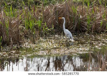 Great egret #585285770