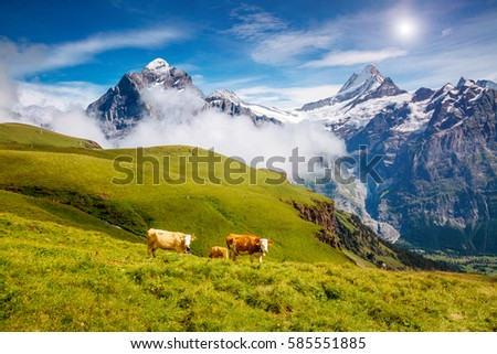 Cows graze on alpine hills in sun beams. Picturesque and gorgeous day scene. Location place Berner Oberland, Grindelwald, Switzerland. Artistic picture. Discover the world of beauty.