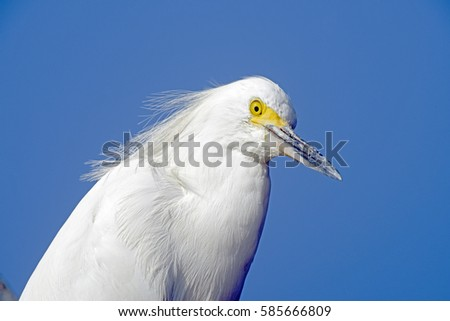 close up of Snowy egret, Egretta thula, heron species which occurs in the Americas, from Canada to Argentina, with blue sky on background #585666809