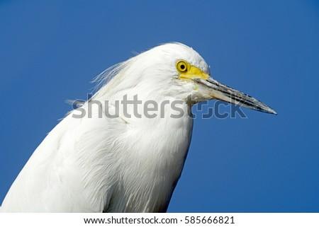 close up of Snowy egret, Egretta thula, heron species which occurs in the Americas, from Canada to Argentina, with blue sky on background #585666821