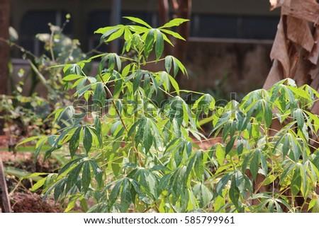 Green Leaves #585799961