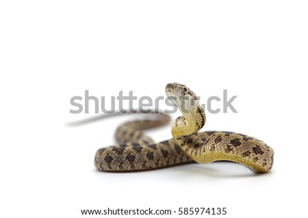 rat snake attack pose isolated on white background Royalty-Free Stock Photo #585974135