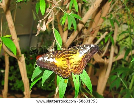 Brown Clipper Butterfly on a leaf #58601953