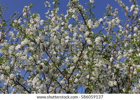 blossom #586059137