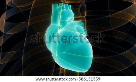Human Body Organs (Heart Anatomy). 3D #586131359