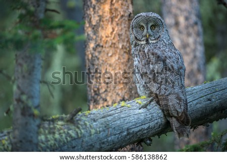 Great grey owl on a perch in Yellowstone National Park. #586138862