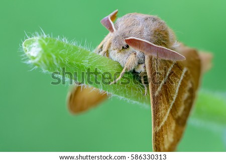 Large brown butterfly macrothylacia rubi sits on a green stalk of grass.   #586330313