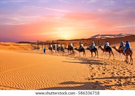 Camel caravan going through the sand dunes in the Sahara Desert, Morocco. Royalty-Free Stock Photo #586336718