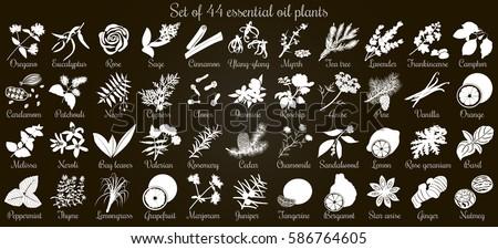 Big vector set of 44 flat style essential oil plants. White Silhouettes on black. Eucalyptus, jasmine, rose, cedar, lavenda, sandalwood etc. For cosmetics, spa, health care, aromatherapy, Ayurveda #586764605