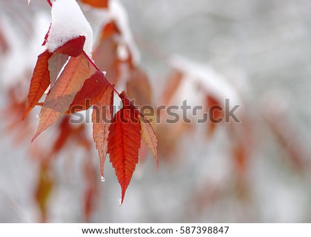 Yellow leaves in snow. Late fall and early winter. Blurred nature background with shallow dof. #587398847