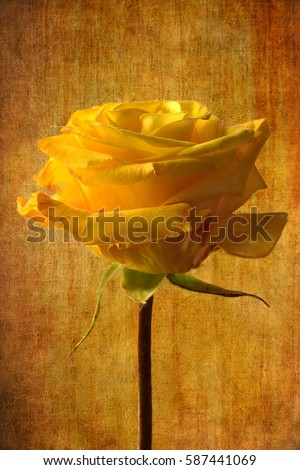 Yellow rose bright yellow flower fine art photography oil paint picture artwork on golden yellow grunge background