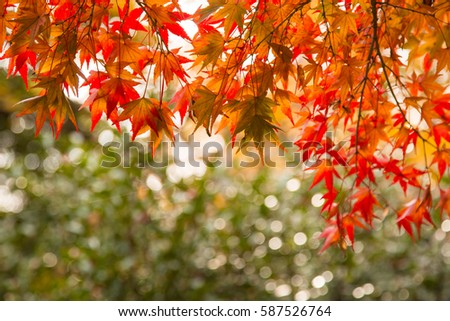 Red maple leaf autumn season with green background #587526764