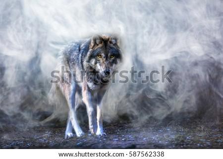 A wolf runs through the mist