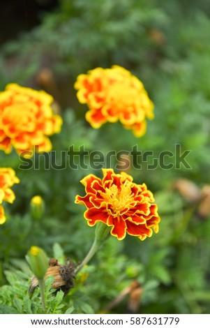 French marigolds flower in the garden. #587631779