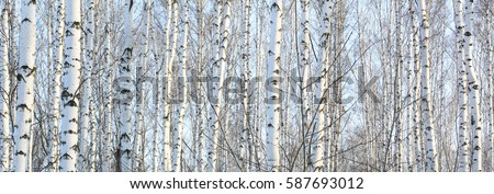 Beautiful landscape with white birches. Birch trees in bright sunshine. Birch grove in autumn. The trunks of birch trees with white bark. Birch trees trunks. Beautiful panorama. #587693012