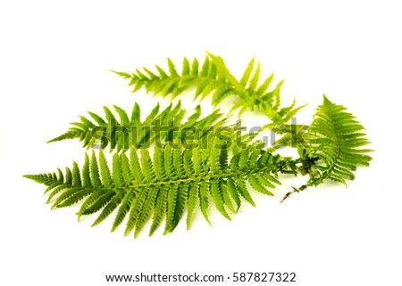 Curved green fern leaves isolated on white background. #587827322