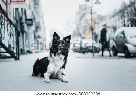 Border Collie dog in the city #588069389