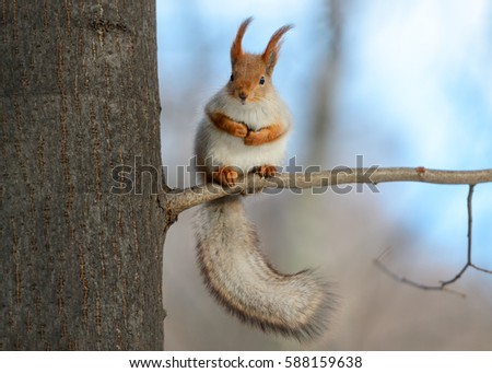 Animals in wildlife. Amazing photo of cute american red squirrel with big fluffy tail sitting high on a tree branch. Animal at sunny winter day and blue sky background. Close up squirrel perspective. #588159638