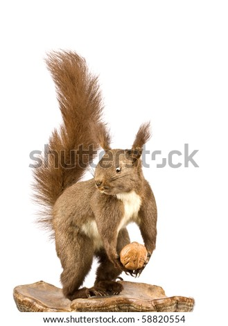 Eurasian red squirrel - Sciurus vulgaris in front of a white background #58820554