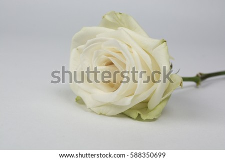 A close up view of an ivory rose that has bloomed and is starting to fade. Intentional shallow depth of field for soft focus.  #588350699