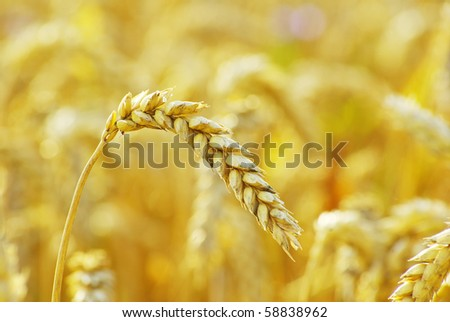 grain ready for harvest growing in a farm field #58838962
