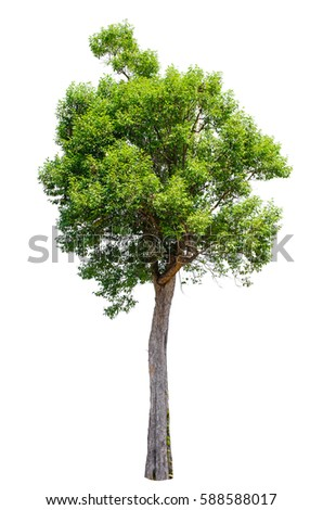 Isolated trees on white background , The collection of trees. #588588017