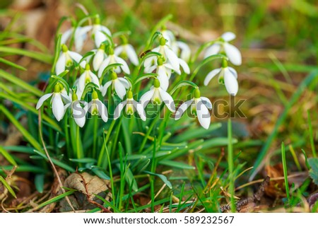 Snowdrop or common snowdrop ( Galanthus nivalis ) flowers, close up macro. Beautiful snowdrop flower, closeup. Early spring white bloom in spring forest #589232567