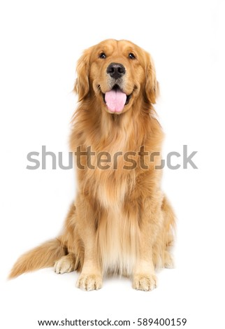 A golden retriever with white background #589400159