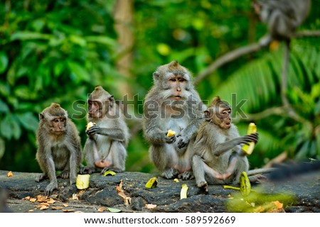 Adult monkeys sits and eating banana fruit in the forest. Monkey forest, Ubud, Bali, Indonesia. #589592669