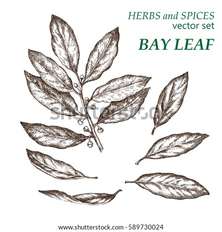 Bay leaf.  Botanical Illustration. Herbs and Spices.  The drawing hands. Royalty-Free Stock Photo #589730024