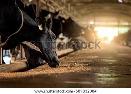 Dairy cows in a farm #589832084