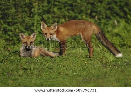 Six month old fox cubs #589996931